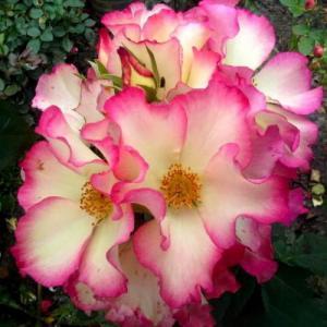 Роза Лиона