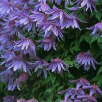 Клематис ботанический Сесиль