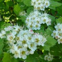 Боярышник (цветки) При спазмах сосудов головного мозга, мигрени, повышенном давлении, шуме в ушах и голове.