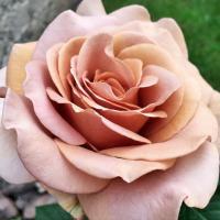 Роза Мокароза