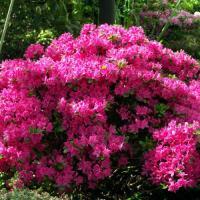 Рододендрон листопадный Кермезина