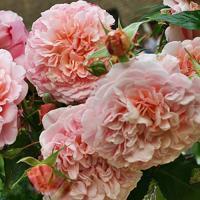 Роза Роз де Толбиак