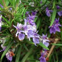 Розмарин лекарственный (трава) Источник уникальной розмариновой кислоты, мощный антиоксидант, улучшает память, от импотенции.
