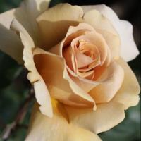 Роза японская  Золотой веер