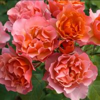 Роза Жан Кокто
