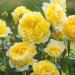 Роза английская Зе Поэтс Вайф
