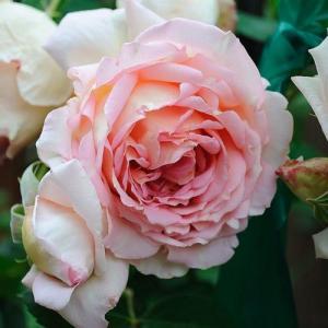 Роза английская Джанет