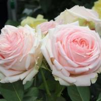 Роза Фест Лэди