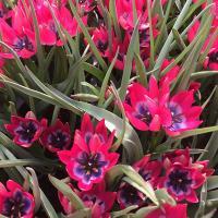 Тюльпан ботанический Литл Бьюти 10 шт