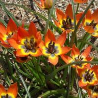 Тюльпан ботанический Литл Принцесс 10 шт
