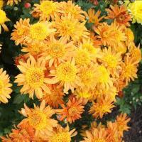Хризантема корейская Злата