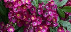 Мускусные розы - королевы ландшафтных композиций