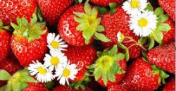 Клубника Фриго - как получить богатый урожай
