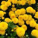Хризантемы зимостойкие