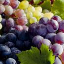 Саженцы винограда - сентябрь