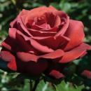 Розы  Еxclusive контейнер 5 л в наличии