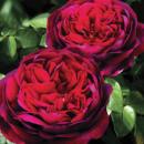 Розы - весна 2021
