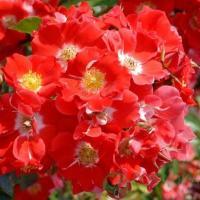 Роза миниатюрная Пасадобль