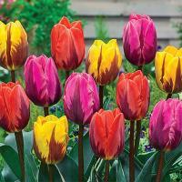 Коллекционная смесь пламенеющих тюльпанов 9 шт