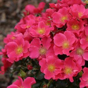 Роза миниатюрная Штадт Ром