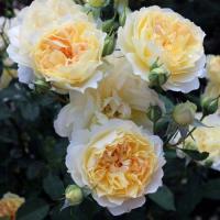 Роза Молинью