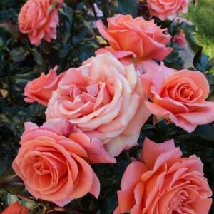 Роза Таттон