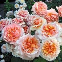 Роза Версайни