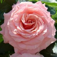 Роза Поэзи