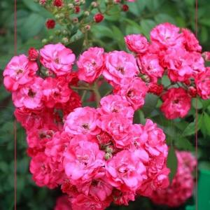 Роза Динки