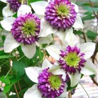 Клематис Виенетта - для дома и сада