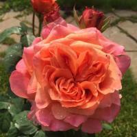 Роза Этруска