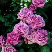 Роза Клод Брассер