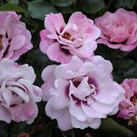 Роза Эсфирь гибрид гультемии персидской
