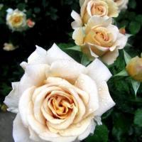 Роза Хоней Дижон