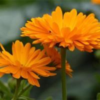 Календула (цветки) Антисептическое средство, противовоспалительное. При угрях, прыщах, демодекозе.