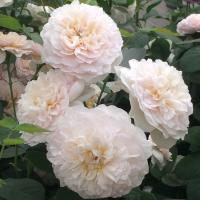 Роза английская Эмили Бронте