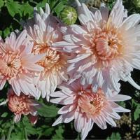 Хризантема корейская Алекси