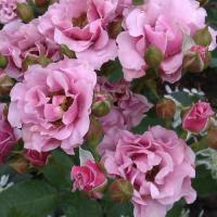 Роза Санта барбара