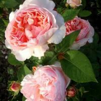 Роза Эвелин
