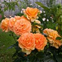 Роза Голдэльзе