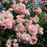Роза плетистая Розенхолм