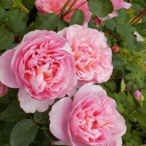 Роза Дам де Шенансо