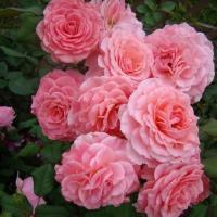 Роза Тиклед Пинк