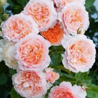 Роза Парфюм де Орлеан
