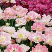 Тюльпан махровый поздний  Анжелика 8 шт