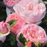 Роза английская  Эвелин