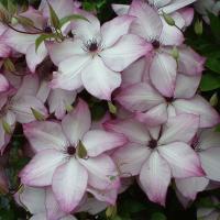 Клематис  крупноцветковый Фонд Мемориз