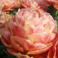 Тюльпан махровый Коппер Имедж 6 шт