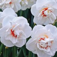 Нарцисс махровый Акрополис 5 шт