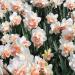 Нарцисс махровый  Реплит 5 шт